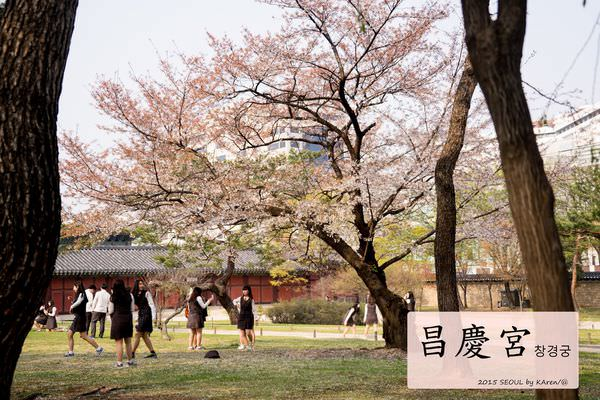 [Seoul。櫻花] 昌慶宮 창경궁
